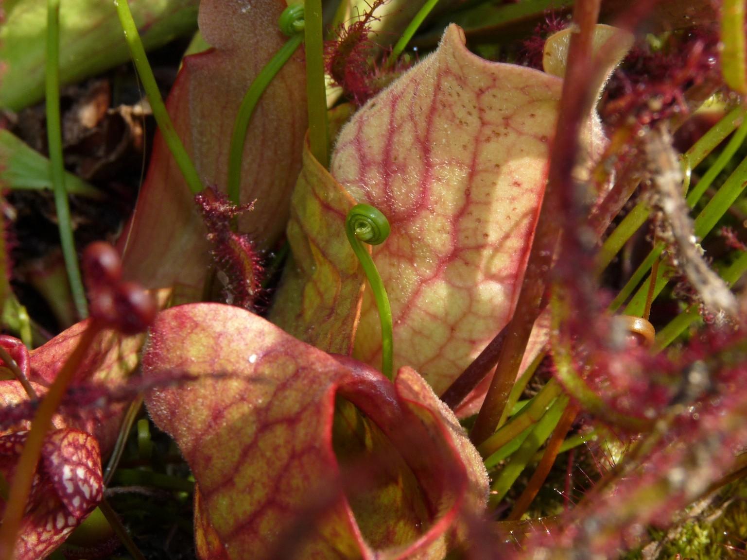 Donica na działce 2017 - Sarracenia purpurea i towarzystwo