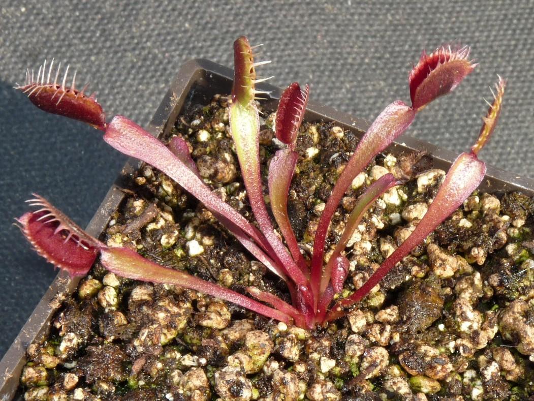 Muchołówka amerykańska Dionaea Muscipula pink venus dzialka3