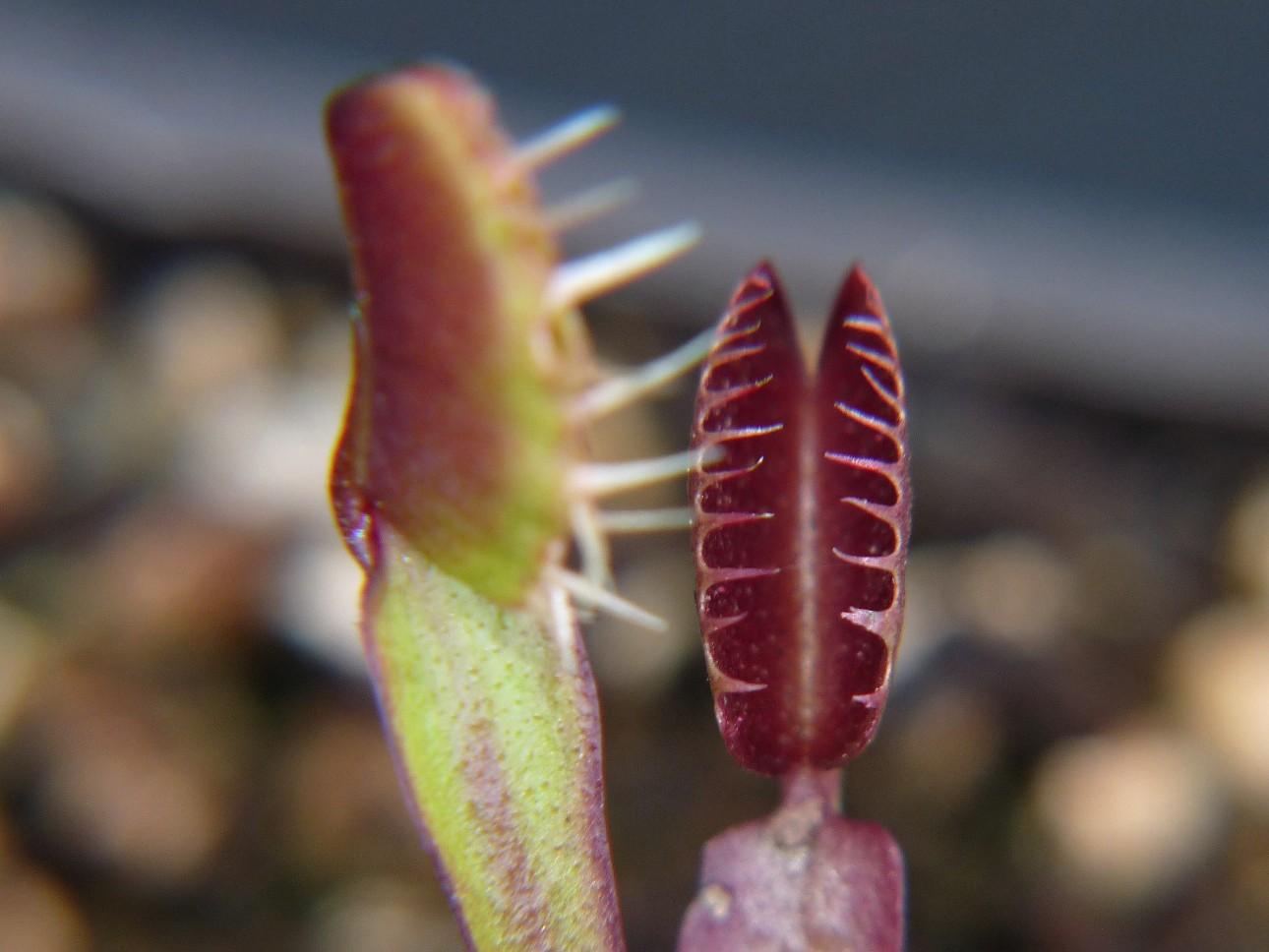 Muchołówka amerykańska Dionaea Muscipula pink venus dzialka6