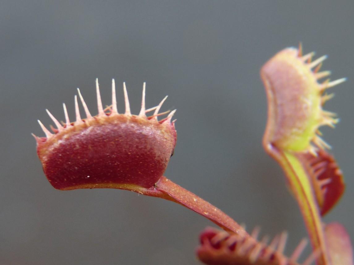 Muchołówka amerykańska Dionaea Muscipula pink venus dzialka7