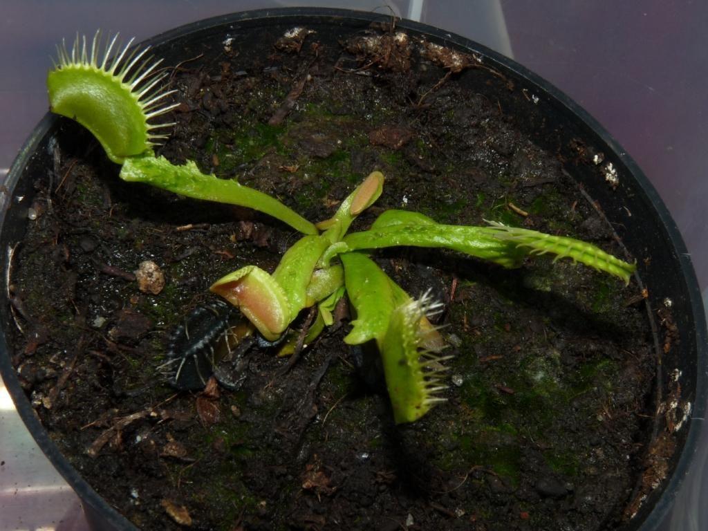 Dionaea muscipula Trichterfalle 2