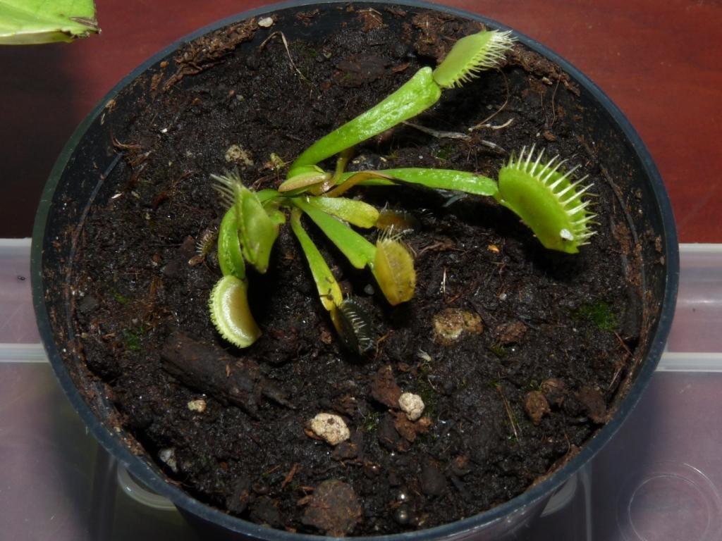 Dionaea muscipula Trichterfalle 3