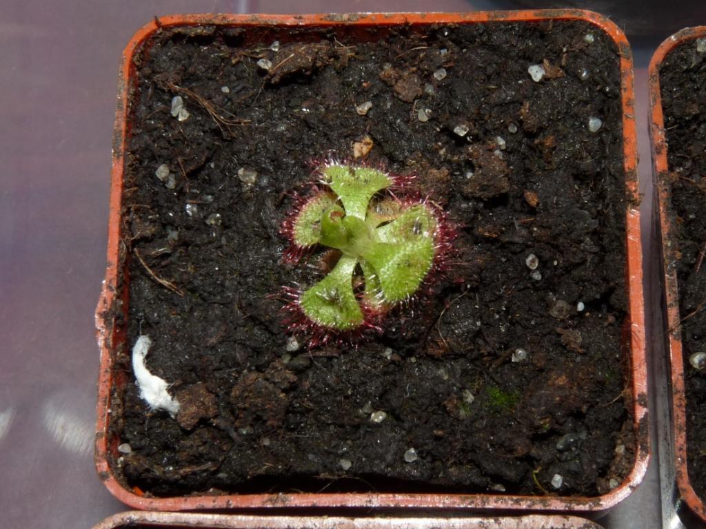 Drosera burmannii 3