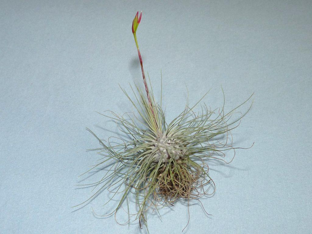 filifolia or argentea 21-08 1