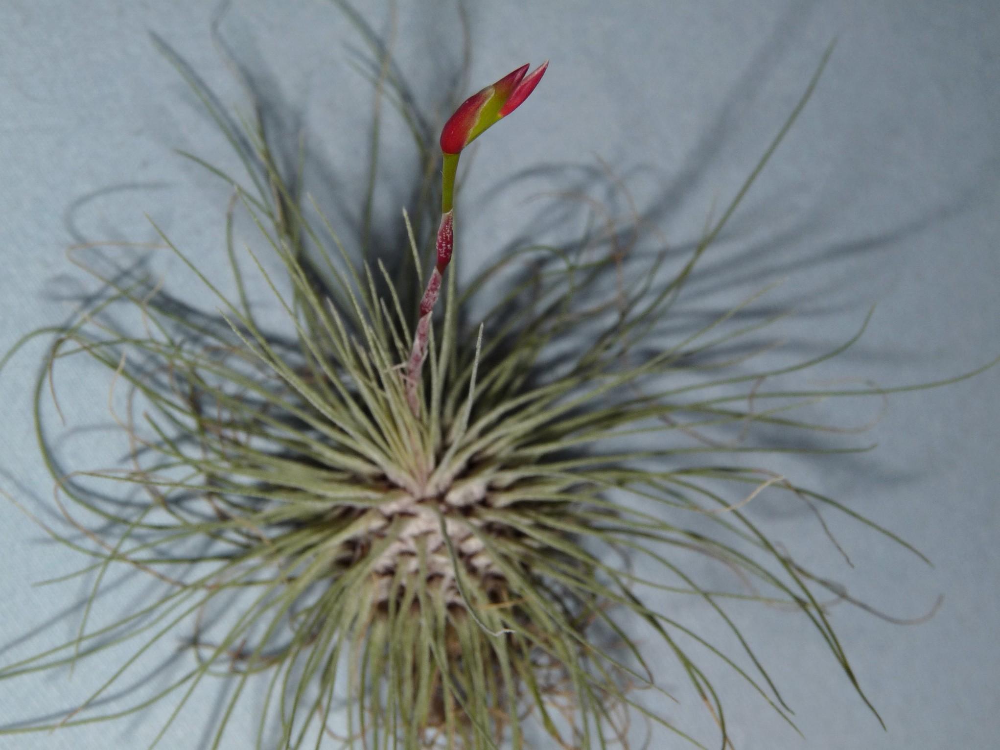 filifolia or argentea 21-08 4