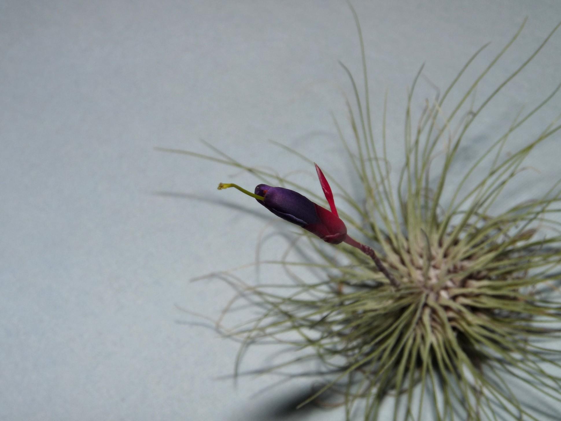 filifolia or argentea 25-09 4