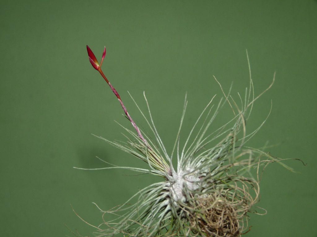 filifolia or argentea 4-09 1