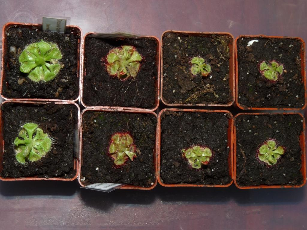 mix Drosera burmannii