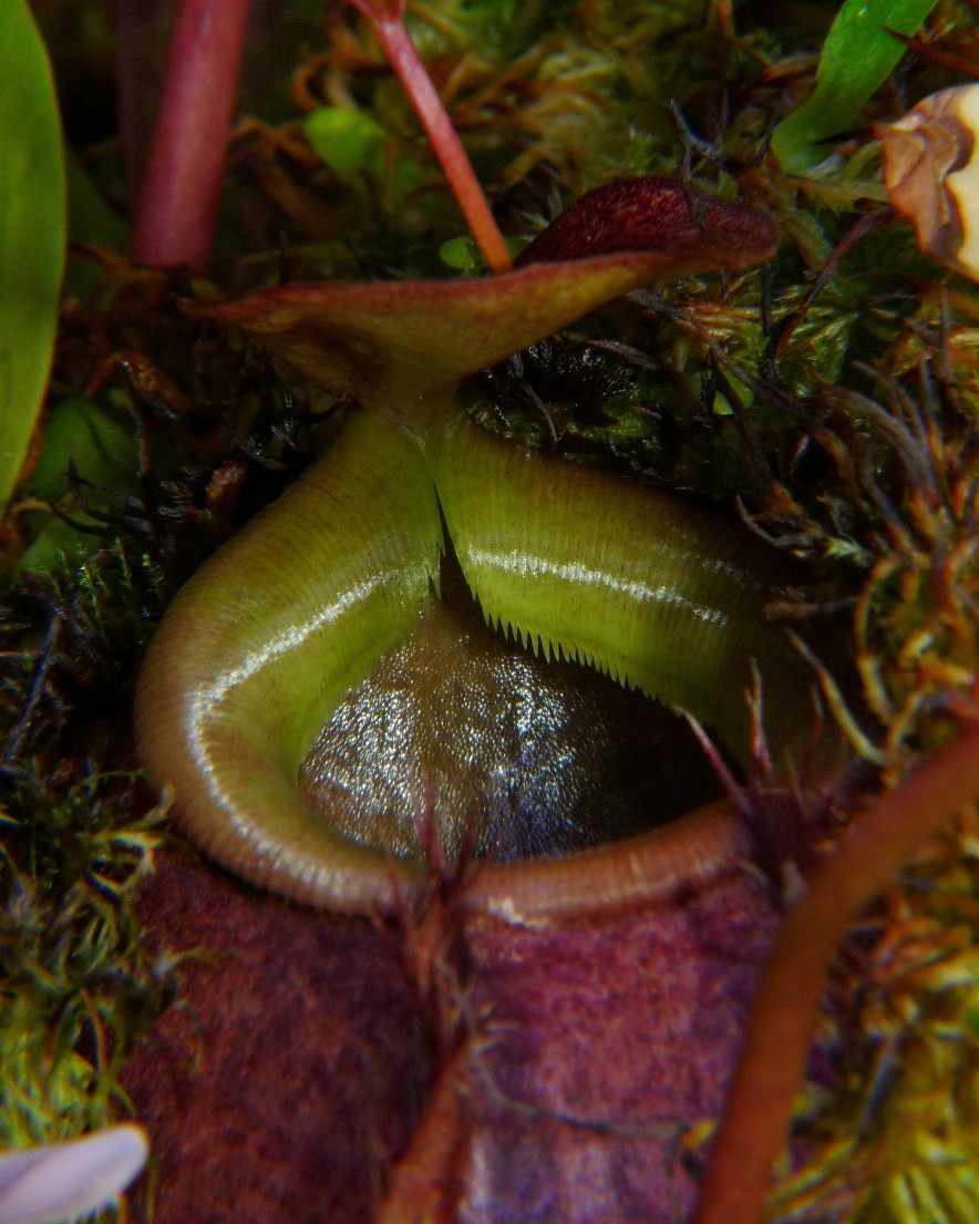 Nepenthes bellii ukryty 6