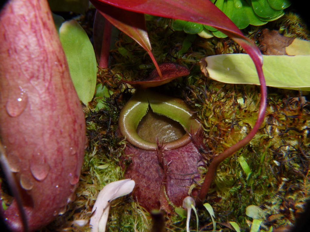 Nepenthes bellii ukryty 4