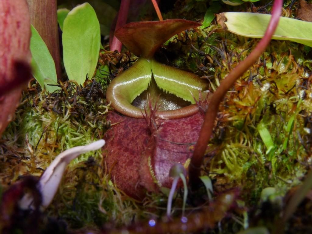 Nepenthes bellii ukryty 3
