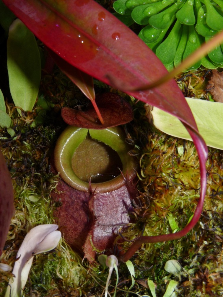 Nepenthes bellii ukryty 1