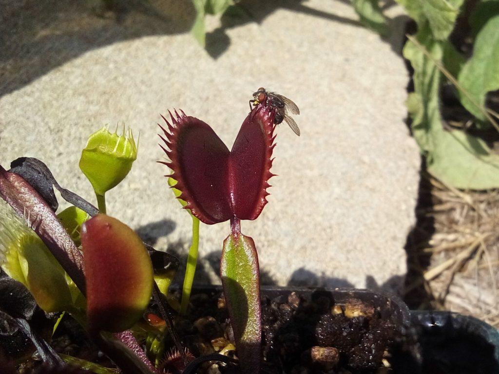 Dionaea i mucha