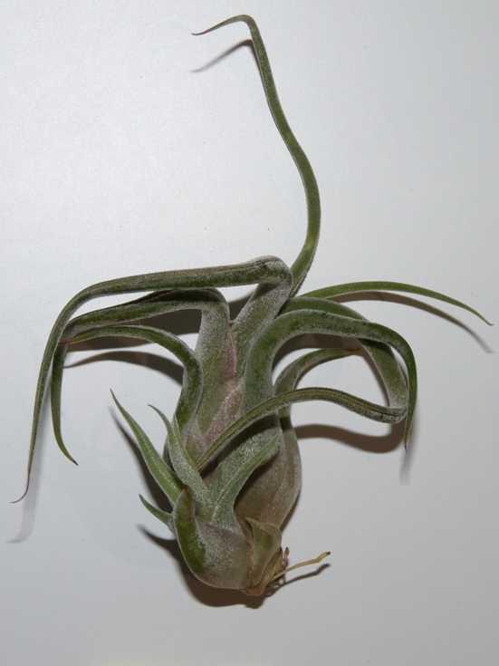 Tillandsia caput medusae
