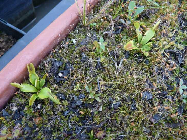 Donica duża z muchołówkami po zimie 2020-2021