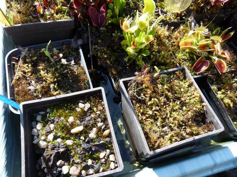 Mix doniczek po zimie 2020-2021 4, tak wyglądało Czyli o tym jak wyglądało zimowanie roślin owadożernych ostatniej zimy